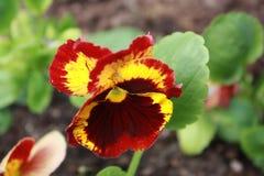 Yellow red flower in garden. Yellow red flower in city garden n stock photo