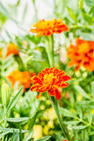 Yellow-red flower with green background Royalty Free Stock Photos