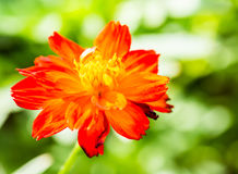 Yellow-red flower with green background Royalty Free Stock Photography