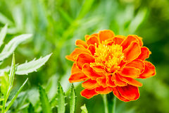 Yellow-red flower with green background Stock Photo