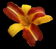 Yellow-red  flower  lily on black isolated background with clipping path  no shadows. Closeup. Royalty Free Stock Photography