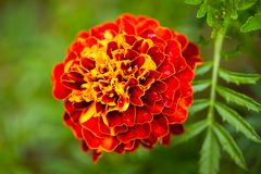 Yellow Red Flower Of Marigold Tagetes Erecta With Leawes Growi. Beautiful Yellow Red Flower Of Marigold Tagetes Erecta With Leawes Growing Flower Bed In Summer royalty free stock image