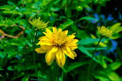 Yellow-red flower rudbeckia. The August flowers. Golden balls perennial plants Stock Photography