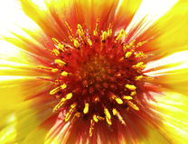 Yellow-red flower in the sunlight.  Closeup. Furry red center. Pistils sticking out like needles.  For design. Royalty Free Stock Photo