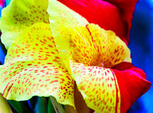 Yellow and red flowering Canna Indica Stock Photo