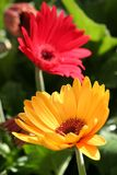 Yellow And Red Flowers Royalty Free Stock Photos
