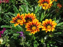 Yellow-red flowers. Beautiful yellow-red flowers royalty free stock photo