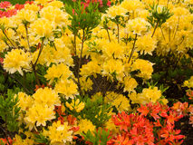 Yellow and Red Flowers. In the Botanical Garden Stock Images