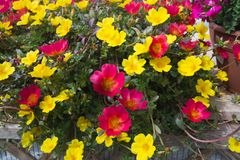 Pink dog rose Rosa Canina flowers. Yellow and red flowers closeup Stock Image