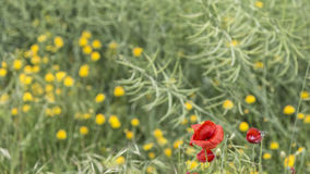 Yellow and red flowers on a green wild field Royalty Free Stock Image