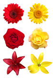 Yellow and red flowers isolated Royalty Free Stock Images