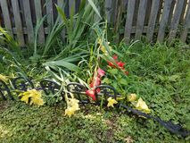 Yellow and red flowers knocking over a small fence. Yellow and red flowers knocking over a small black fence Stock Images