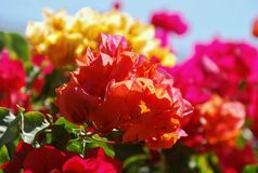 Yellow and red flowers Stock Image