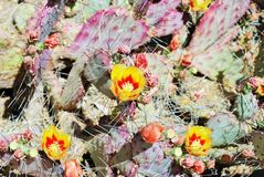 Yellow and red flowers of the red Prickly Pear cactus in Arizona Stock Photos