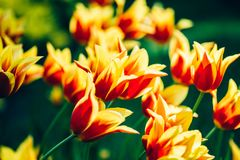 Yellow And Red Flowers Tulip In Spring Garden Stock Photos