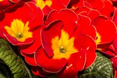 Yellow and red flowers royalty free stock photography