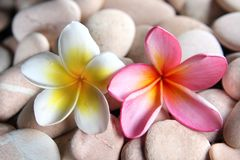 Yellow and red frangipani on pebbles Royalty Free Stock Photos