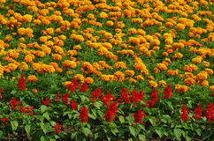 Yellow and red garden flowers background Stock Photo