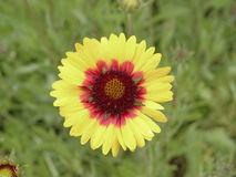 Yellow and red gazania flower Stock Image
