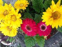 Gerber Daisies. Yellow and red Gerber daisies in bloom stock photos