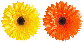 Yellow and red gerbera Royalty Free Stock Photography