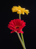 Yellow and red gerbera daisy flowers Stock Photos