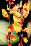 Yellow red Ginger varieties Plant and Flower - Flowers of Matagalpa Nicaragua. Yellow red ginger varieties plant and flowers which are growing in the humid cloud stock photos