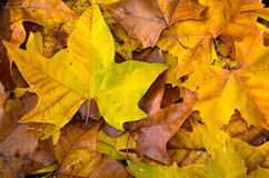 Yellow, red, golden and brown leaves on the ground. Background pattern with maple leaves laying on the ground, colorful and bright, autumn natural ornament Royalty Free Stock Photo