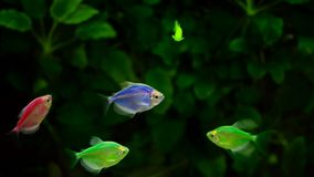 Yellow and Red Goldfish Swimming In Aquarium. HD stock footage