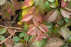 Yellow, red and green leaves of Parthenocissus quinquefolia. Vine Stock Photos