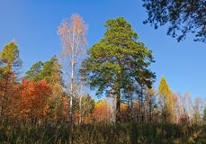 Yellow, red and green trees in forest at autumn Stock Photography