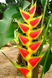 Yellow and red Heliconia flower. Royalty Free Stock Photography
