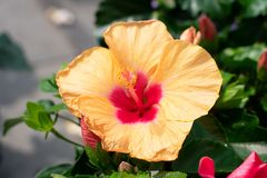 Yellow red hibiscus flower in full bloom stock images