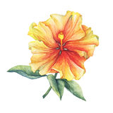 Yellow-red Hibiscus flower. Royalty Free Stock Image