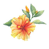Yellow-red Hibiscus flower. Royalty Free Stock Photos