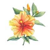 Yellow-red Hibiscus flower. Stock Image