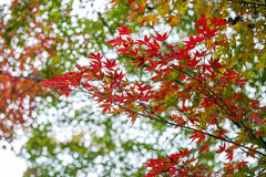 Yellow and red Japanese maple leaves during autumn in Kyoto, Royalty Free Stock Photos