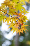 Yellow and red Japanese maple leaves during autumn in Kyoto, Stock Photos