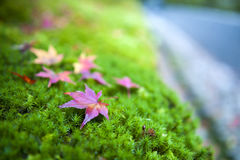 Yellow and red Japanese maple leaves fallen on green mossy groun Stock Photo