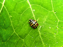 Yellow and Red Ladybird beetle Stock Photo