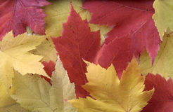 Yellow and Red Leaf Background Stock Photos