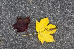 Yellow and red leaf lying on concrete pavement. In autumn Stock Photos