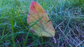 Yellow with red leaf lying on the grass stock images