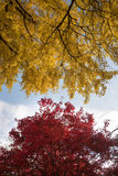 Yellow and Red Leaf Tree Under White and Blue Sunny Sky Royalty Free Stock Photo