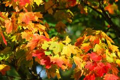Yellow and Red Leaf Trees Royalty Free Stock Photos