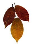 Yellow and red  leaves Royalty Free Stock Images