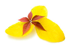 Yellow and red leaves Stock Photography