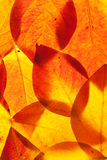 Yellow and red leaves Royalty Free Stock Photo