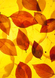 Yellow and red leaves. Background royalty free stock image