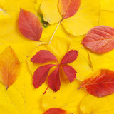 Yellow and red leaves royalty free stock photos